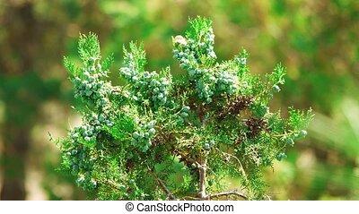 крупным планом, cupressaceae, spring., молодой, филиал