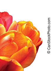 крупным планом, petals, оранжевый, isolated, красный, желтый, flower:, тюльпан