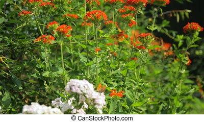 куст, цветы, butterflies