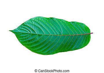 лекарственный, зеленый, speciosa), (mitragyna, тип, kratom