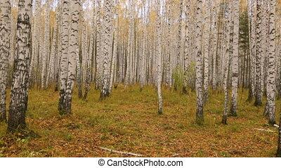 лесок, береза, осень