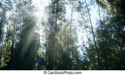 лесок, ветреный, бамбук, спокойный, arashiyama
