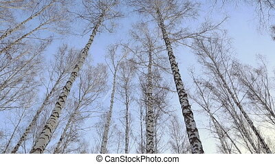 лесок, зима, береза