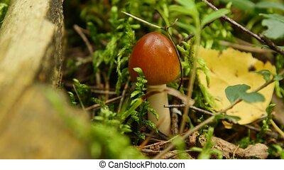 лес, гриб