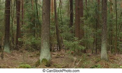лес, ель, загадочный