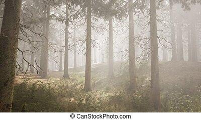 лес, натуральный, sunbeams, ель