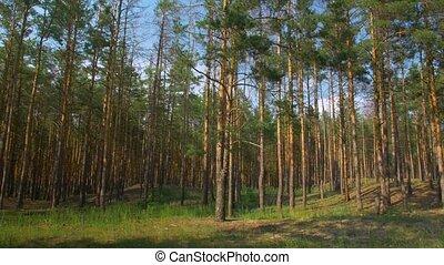 лес, пейзаж, сосна