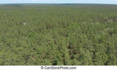 лес, сосна, зеленый