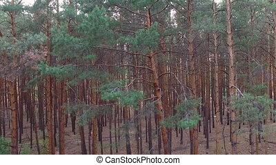 лес, сосна, красивая