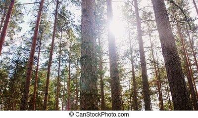 лес, сосна, место действия, натуральный, или, леса