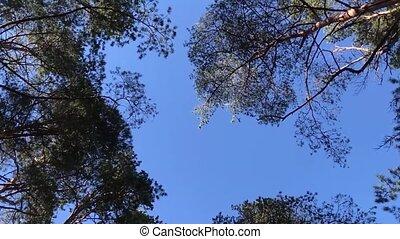лес, сосна