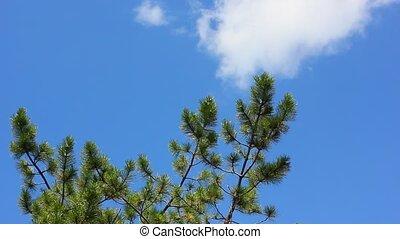 лес, trees, сосна
