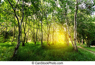 лес, trees., naturel, зеленый, лес, with, солнце, легкий