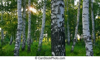лето, береза, леса, в, россия