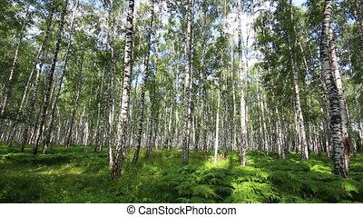 лето, береза, лес, россия
