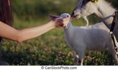 лето, вскармливание, молодой, это, day., поле, тепло, close-up., девушка, goats