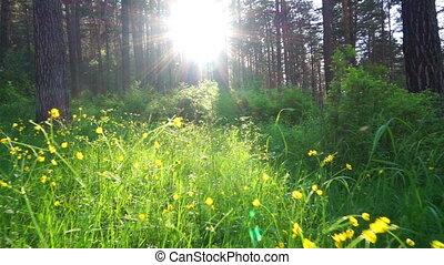 лето, закат солнца, лес, ходить