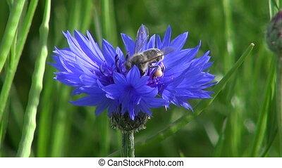 лето, пчела, василек