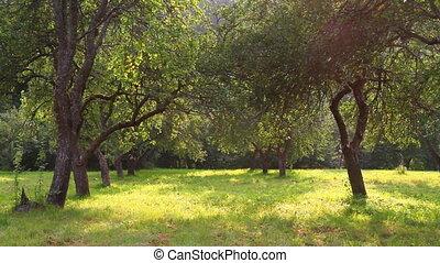 лето, сад, яблоко