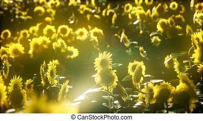 лето, blooming, sunflowers, поздно