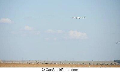 лето, swans, над, летающий, три, степь, taurida, белый, askania-nova