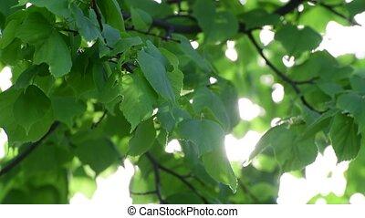 липа, большой, leaves, выстрел, backlight
