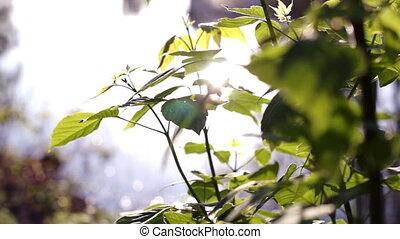 липа, солнце, лист, отражение, против
