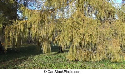 лиственница, девушка, дерево, солнце