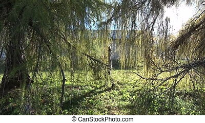 лиственница, девушка, филиал, дерево