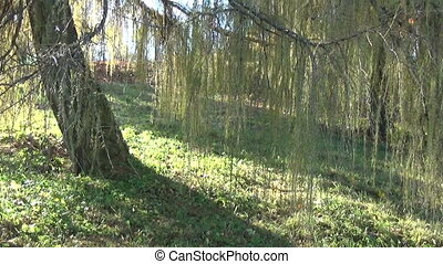 лиственница, хобот, филиал, зеленый