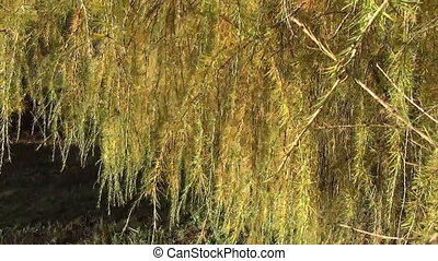 лиственница, spines, ветви
