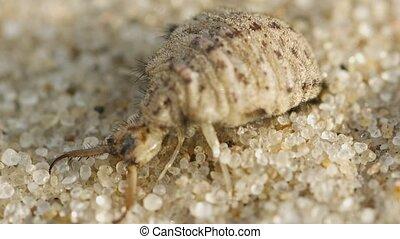 личинка, макрос, burrows, -, antlion, песок, супер