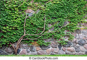 лоза, выращивание, на, камень, стена