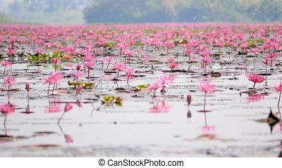 лотос, многие, цветы, красный, болотный