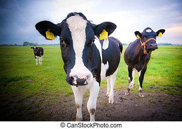 любопытный, cows