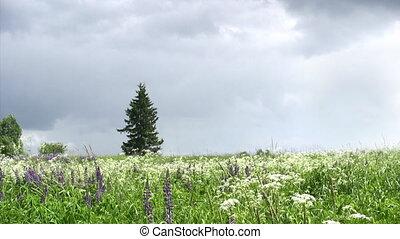 люпин, цветы