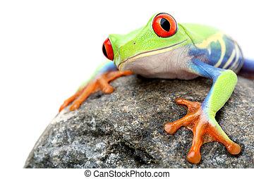 лягушка, на, камень, isolated