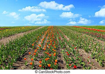 май, tulips