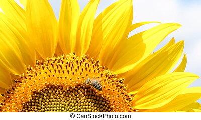 макрос, подсолнечник, пчела