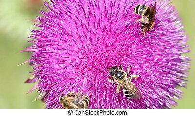 макрос, bees, три, цветок