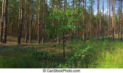 маленький, сосновый лес, дерево