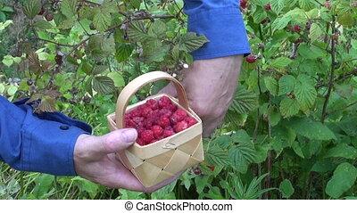 малина, picking, садовник, дикий