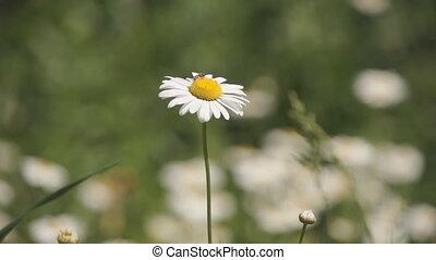 маргаритка, цветок, пчела