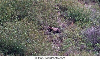 медведь, дикий, склон холма, almonds, поиск