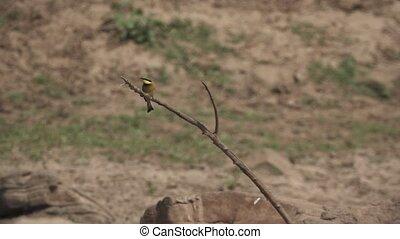 медленный, движение, принятие, филиал, bee-eater, супер, от
