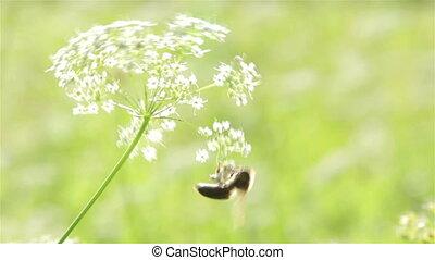 мед, макрос, цветок, пчела