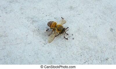мед, carrying, ants, пчела