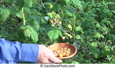 милая, малина, желтый, harvesting