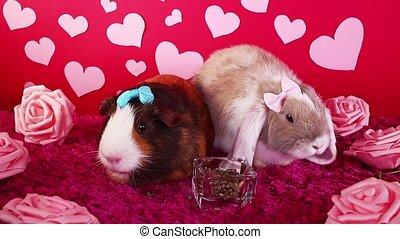 милый, animals, кролик, животное, домашнее животное, s, валентин, обкорнать, pets, гвинея, свинья, день
