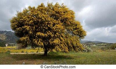 мимоза, дерево